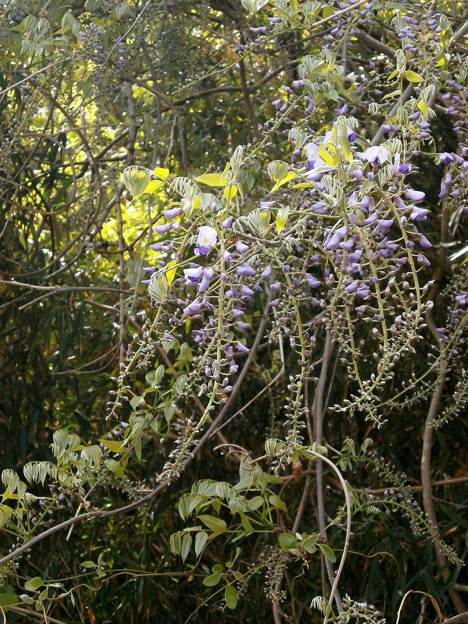 wisteria spring flowers woods free photo