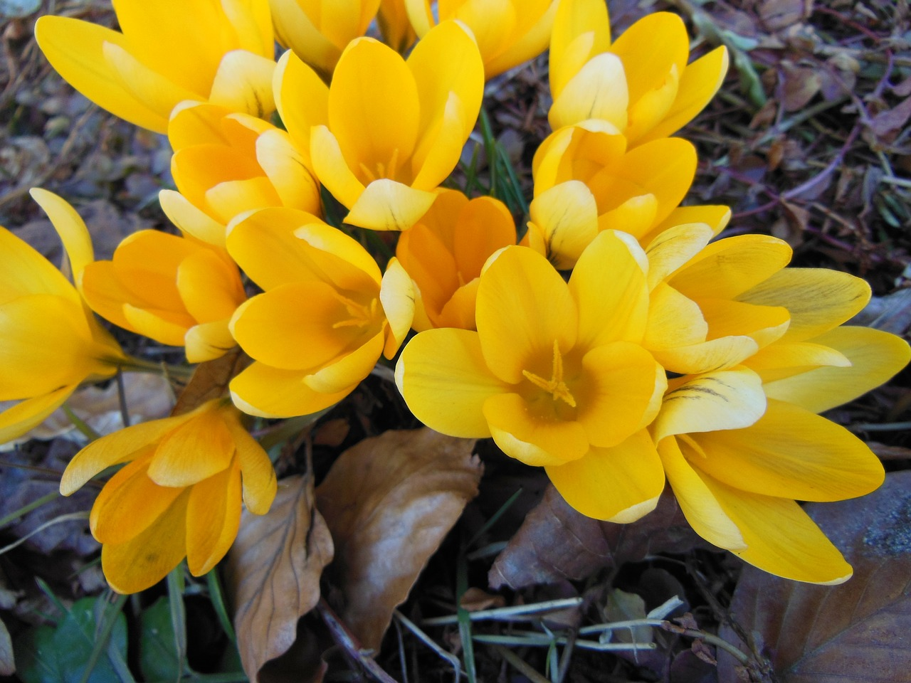 withered foliage yellow crocus harbingers of spring free photo