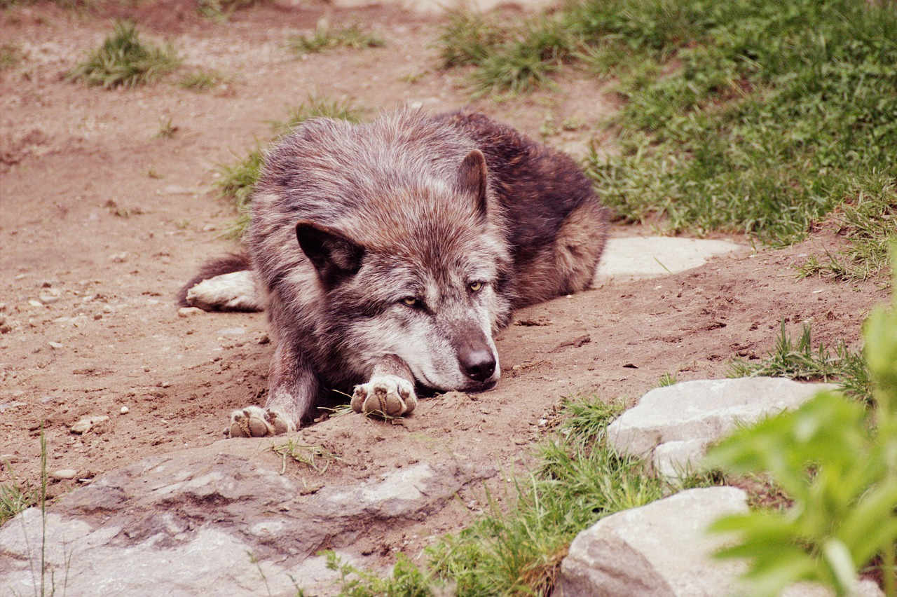wolf nature animal world free photo