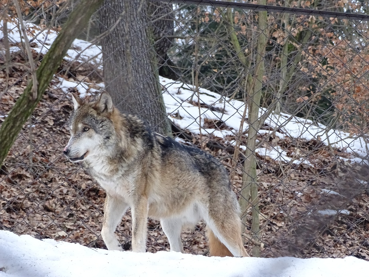 wolf,mammal,beast,zoo,deer,animal,predator,zoo enclosure,the zoological garden,animals,the she-wolf,dangerous,killer,canine,winter,hairy,gray,siberian,outdoors,hunter,free pictures, free photos, free images, royalty free, free illustrations, public domain