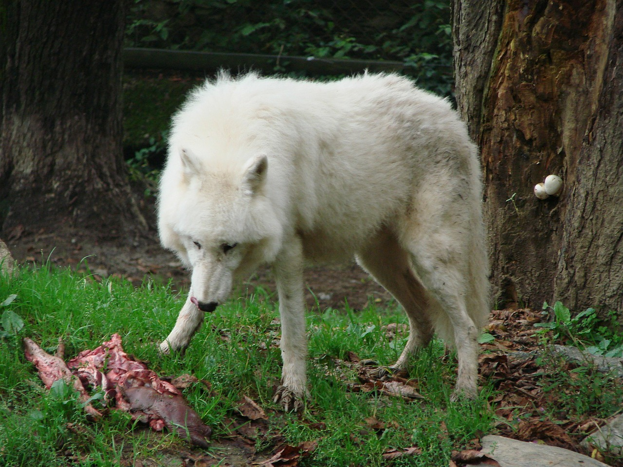 wolf eat white free photo