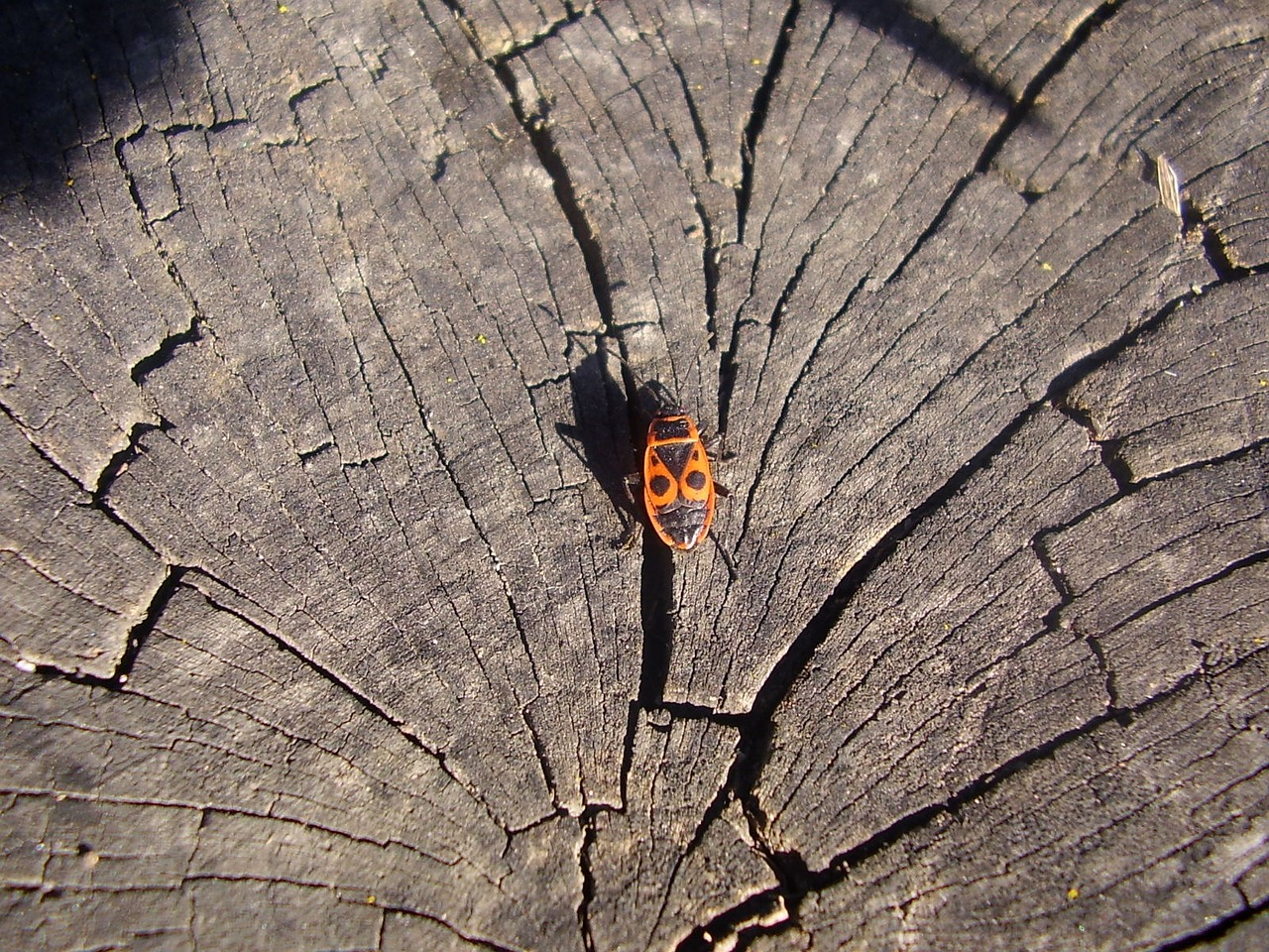 wood beetle insects free photo