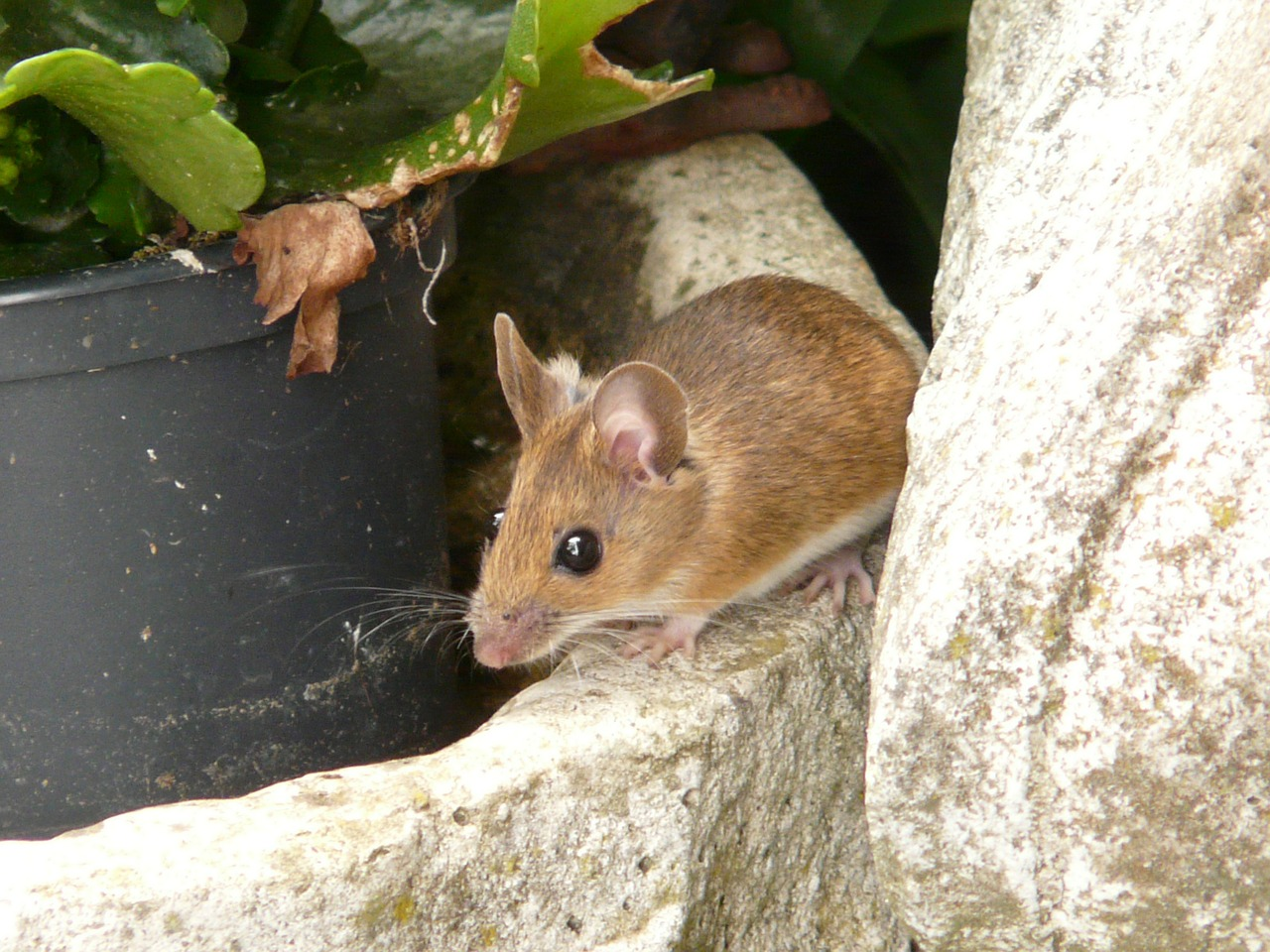wood mouse apodemus sylvaticus mammal free photo
