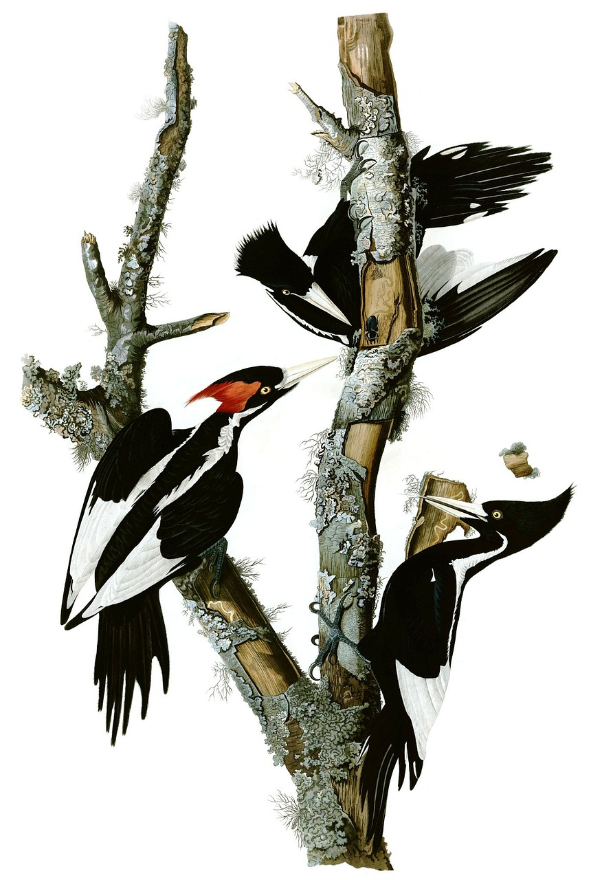 woodpecker mr woodpecker ivory woodpecker free photo