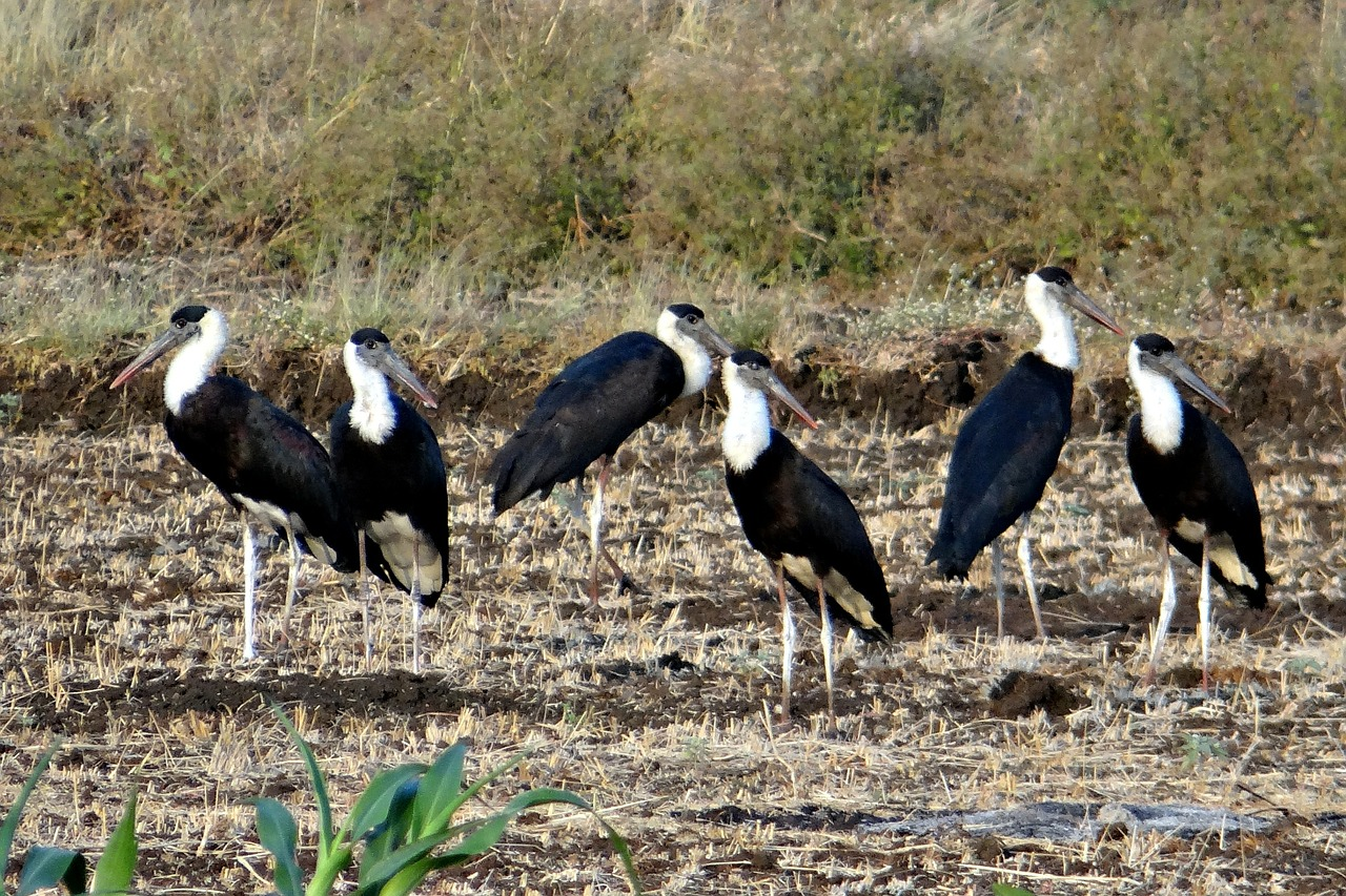 woolly-necked stork bishop stork white-necked stork free photo