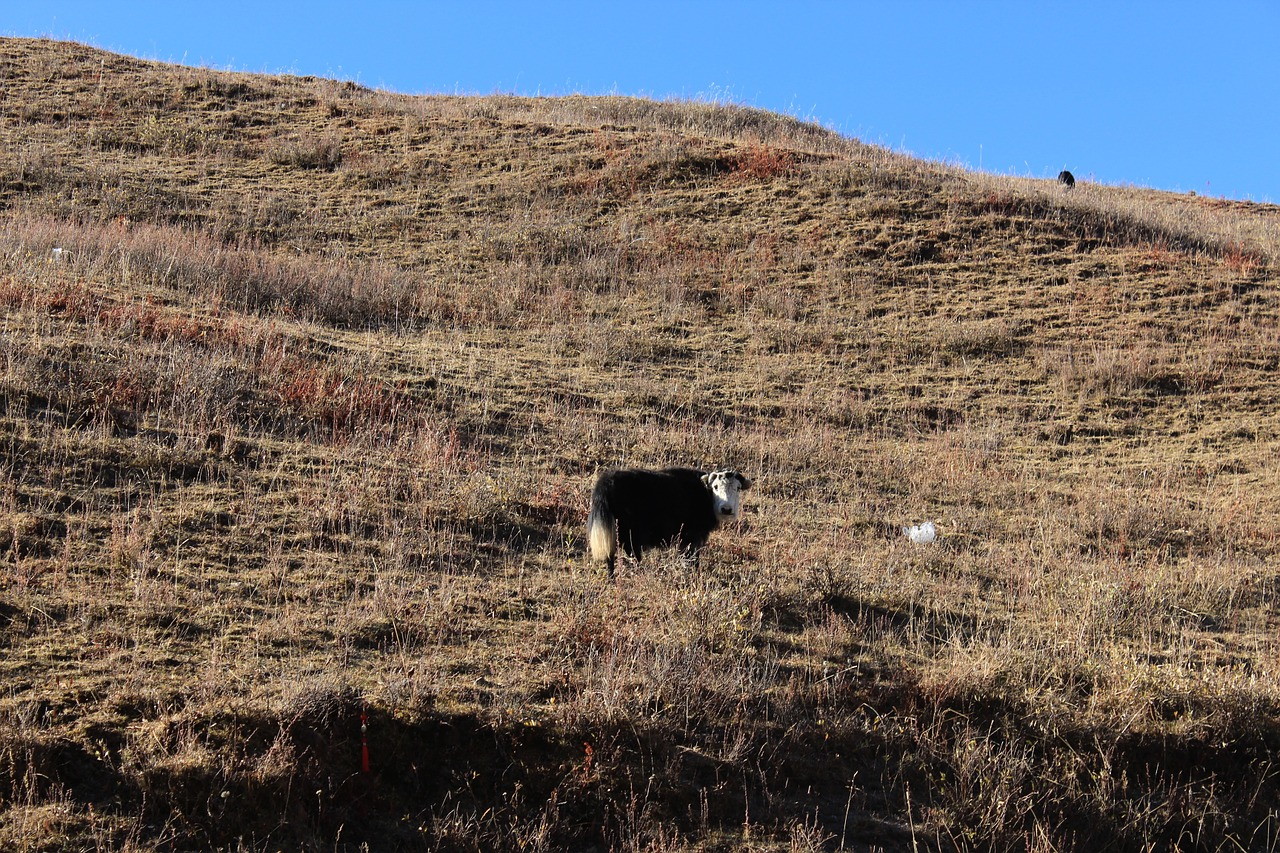 yak in tibetan areas animal free photo