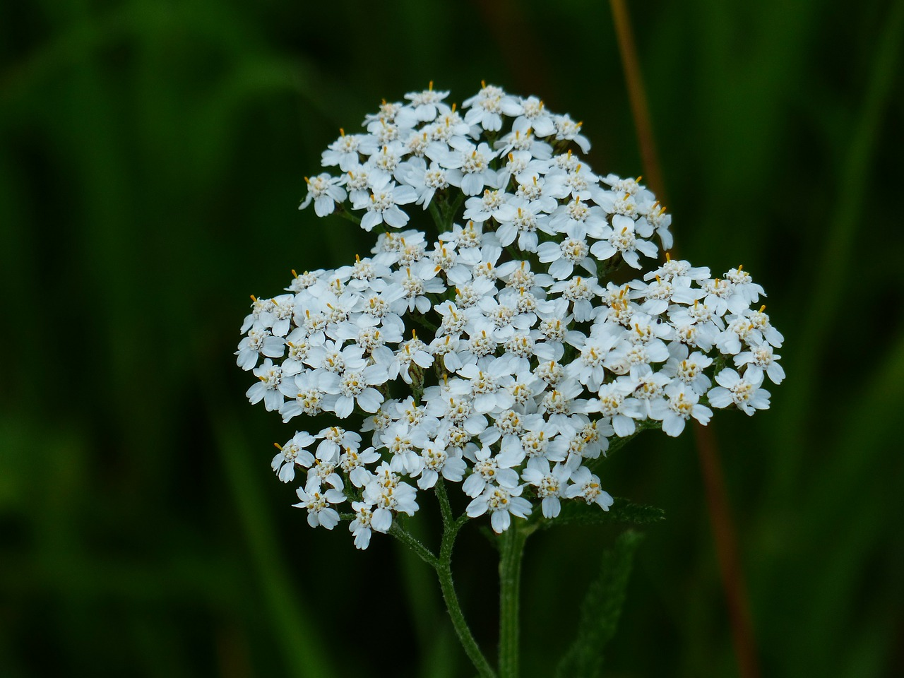yarrow blossom bloom free photo