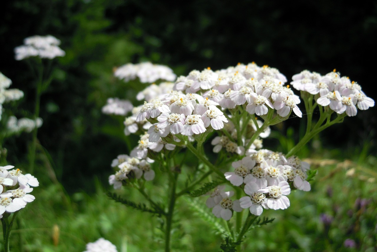 yarrow flower blossom free picture