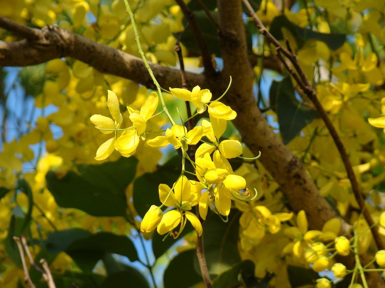 Yellowflowerstreeaustraliaspring Free Photo From Needpix