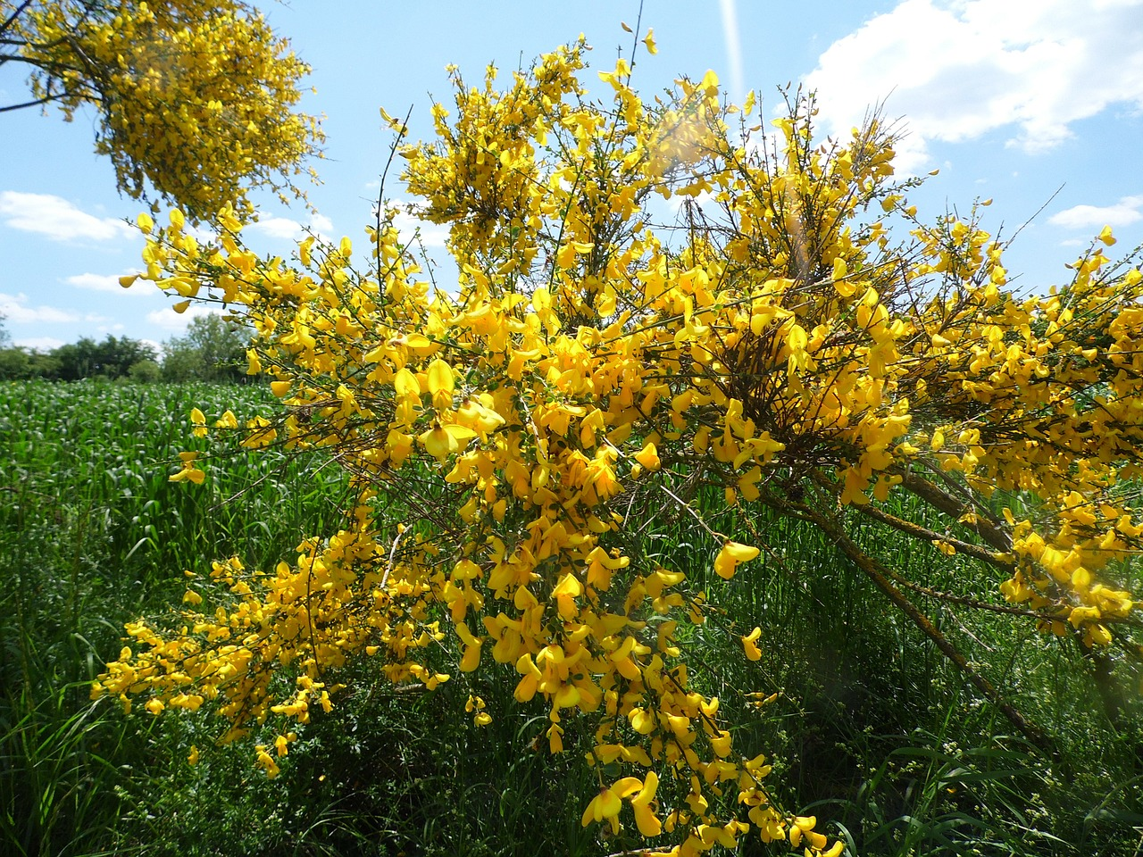 Yellowflowersspringbushyellow Shrub Free Photo From Needpix