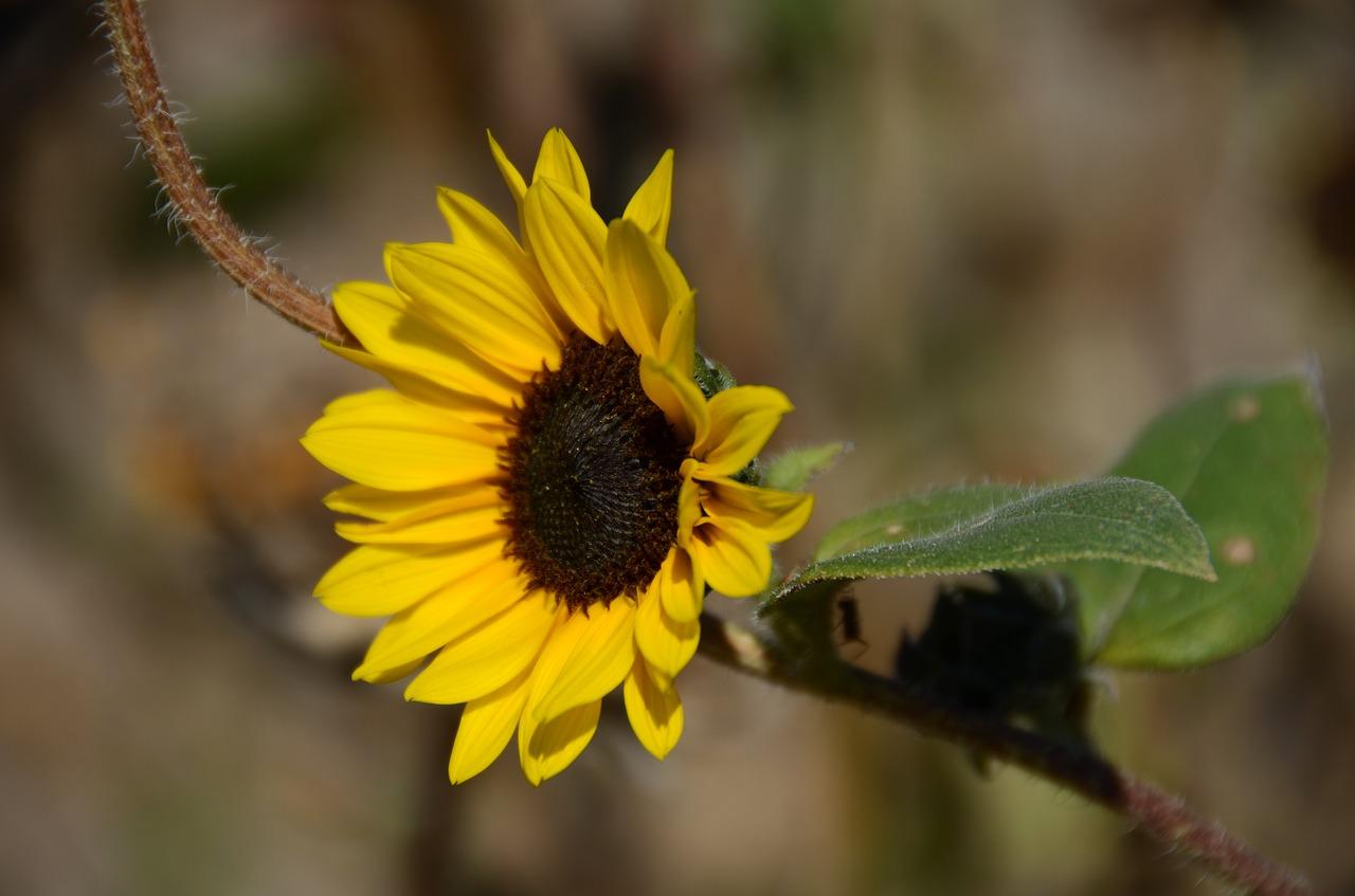 Yellowflowerdakotasummerplant Free Photo From Needpix