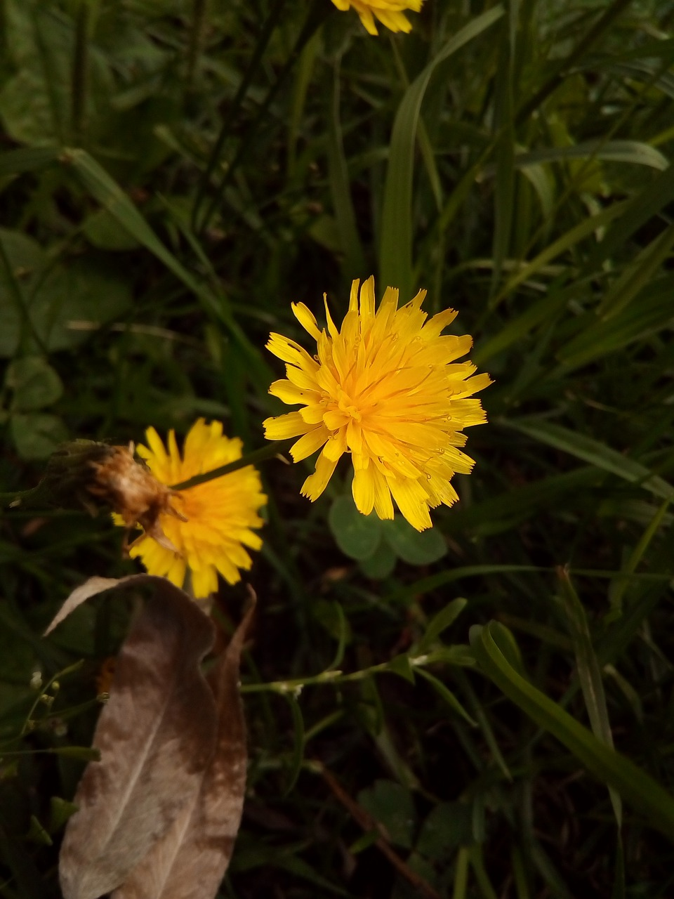 Yellowflowerwild Plantsautumn Hawkbit Free Photo From Needpix