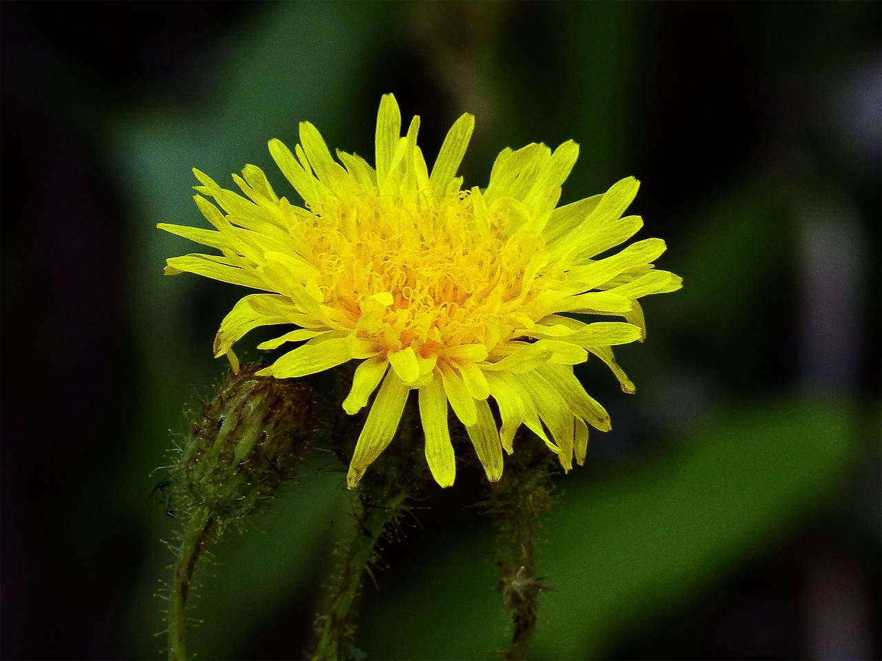 Yellowwild Flowernaturesummer Flowersbloom Free Photo From