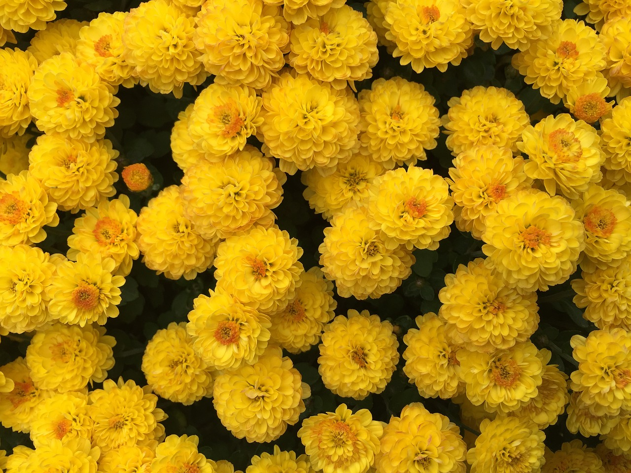 yellow chrysanthemum yellow autumn free photo