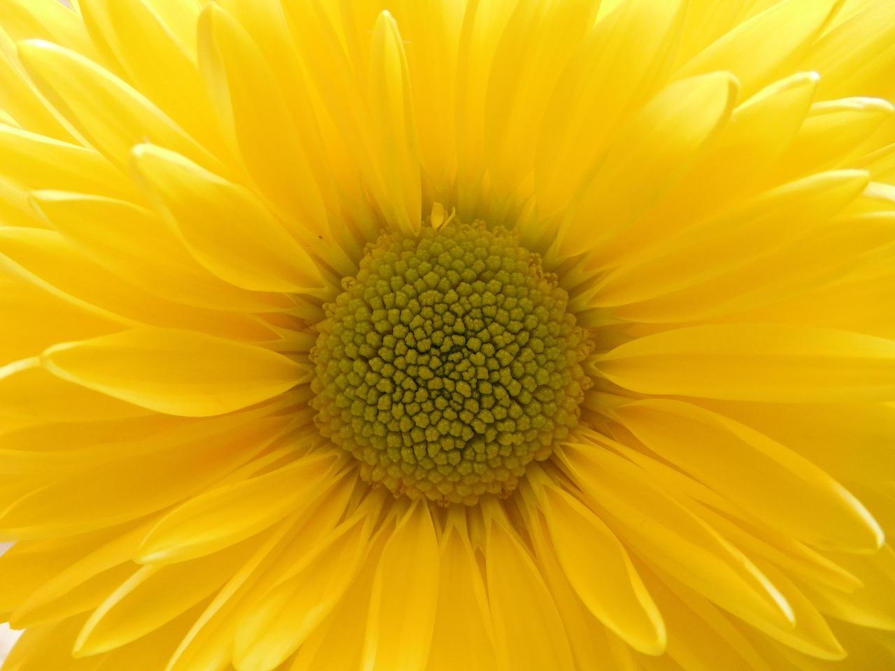 Yellow Daisy Mumyellow Flowerflowerplant Free Photo From