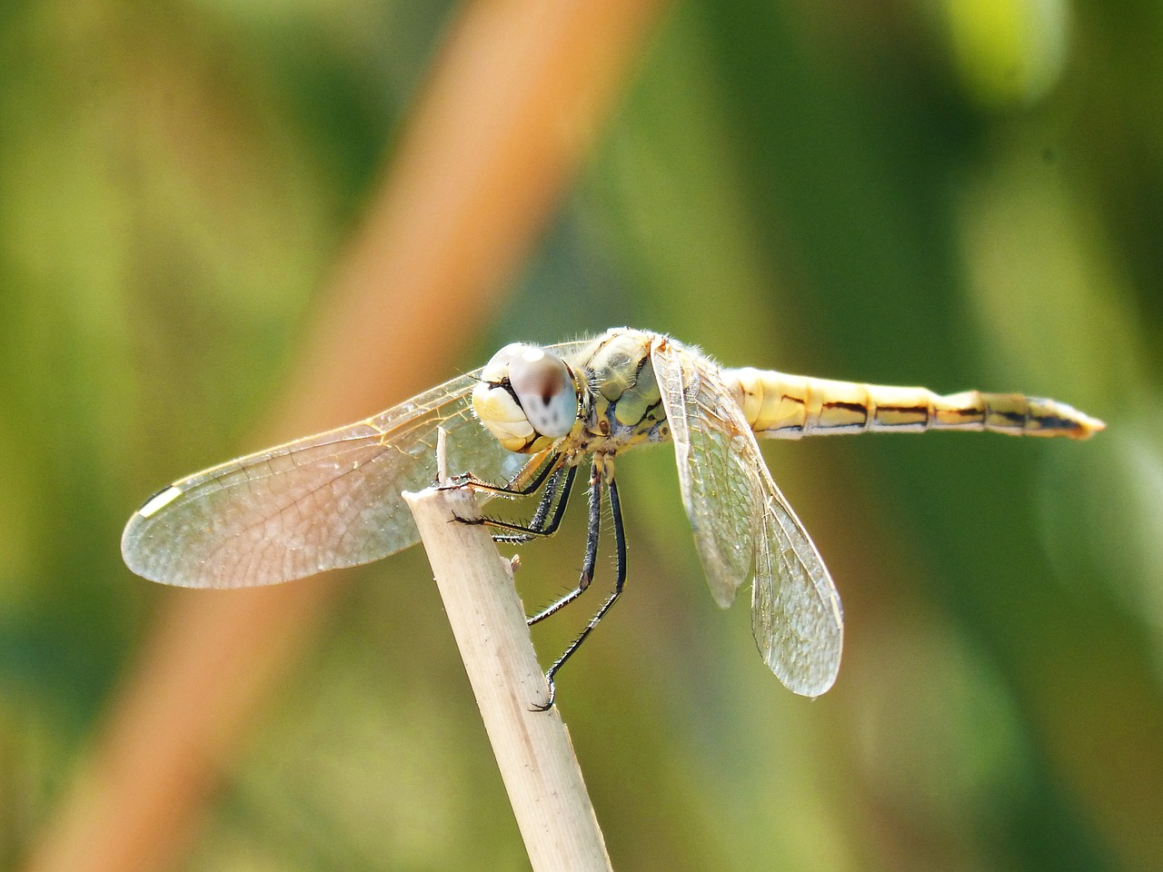 yellow dragonfly winged insect branch free photo