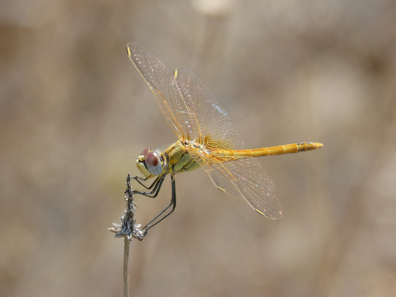 yellow dragonfly dragonfly dried plant free photo
