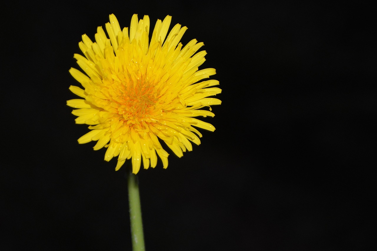 Yellow flowerflower dandelionblack backgroundyellow black green yellow flowerflower dandelionblack backgroundyellow black greenfloragarden mightylinksfo