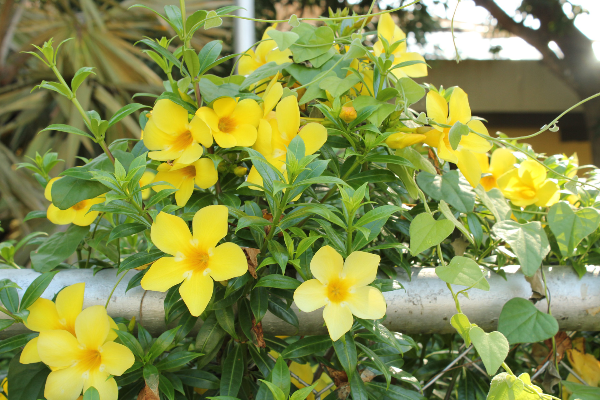 Yellowflowersleavesplantspetals Free Photo From Needpix