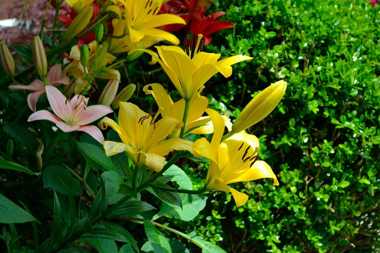 Yellow Flowersgreenpastureseasonsummer Free Photo From Needpix