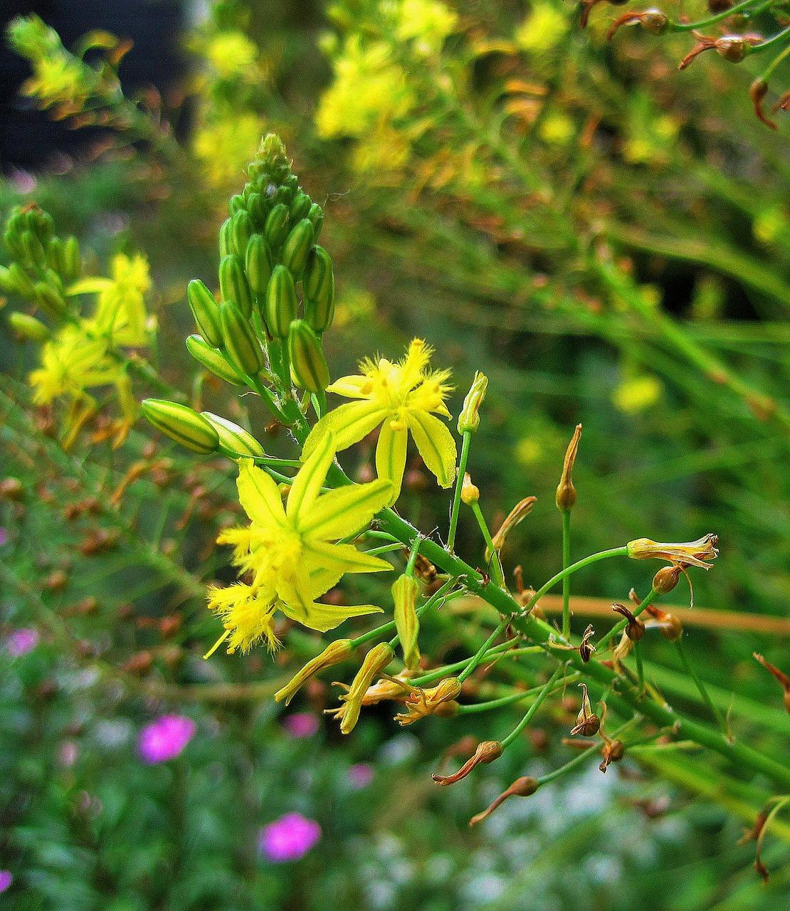 Yellow Flowersflowersyellowsucculentbulbinella Free Photo From