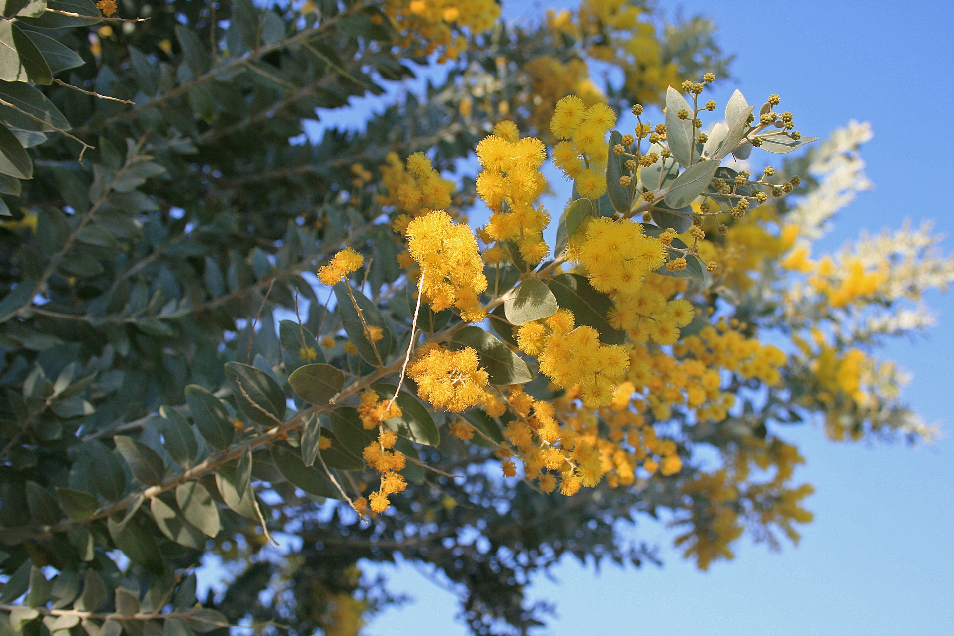 Flowersyellowfluffyacacia Treeyellow Flowers On Acacia Tree
