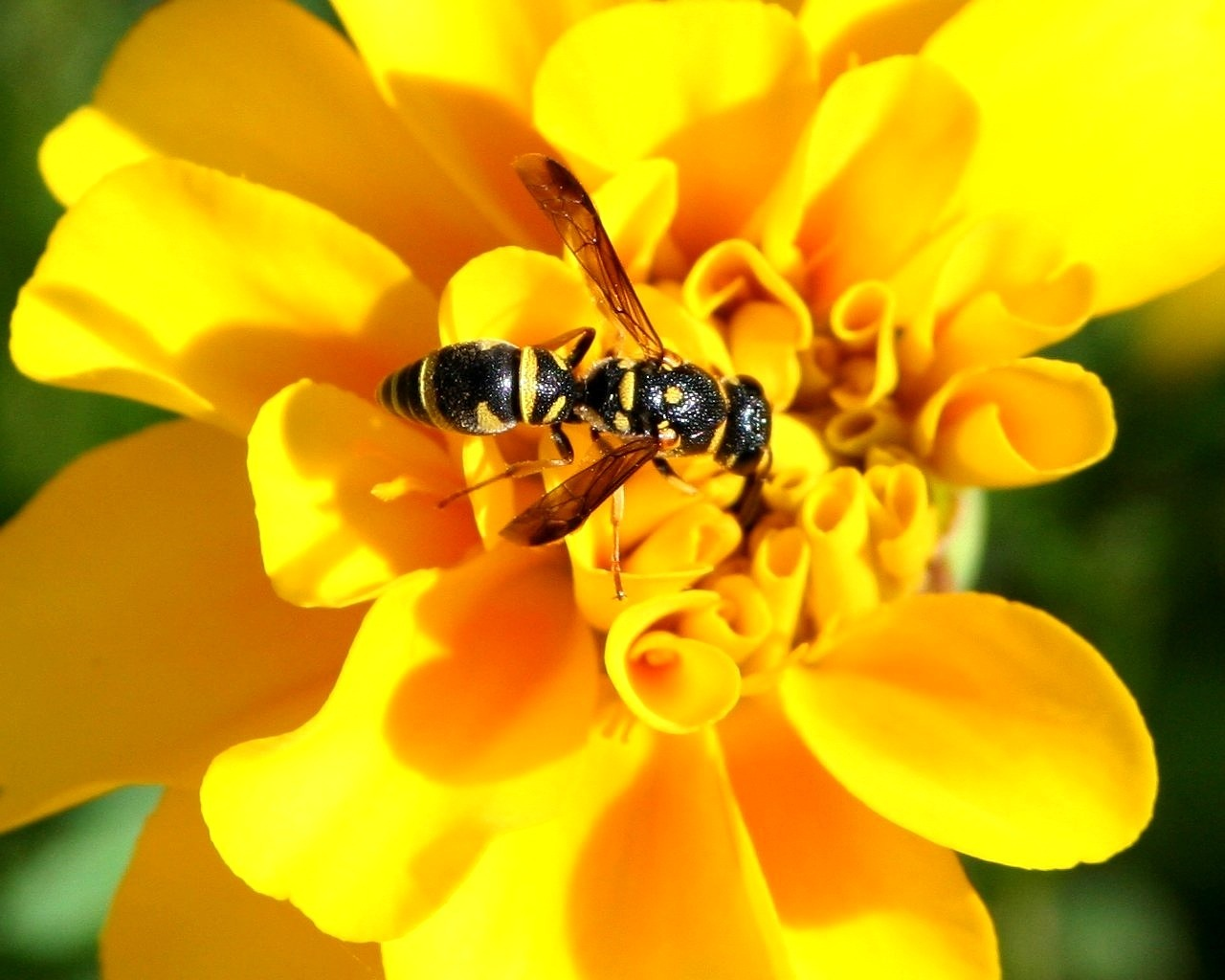 yellow jacket insect nature free photo