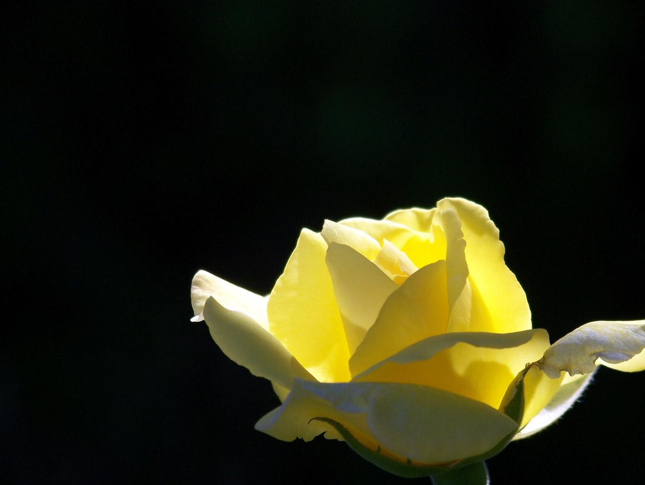 yellow love rose - HD1280×962