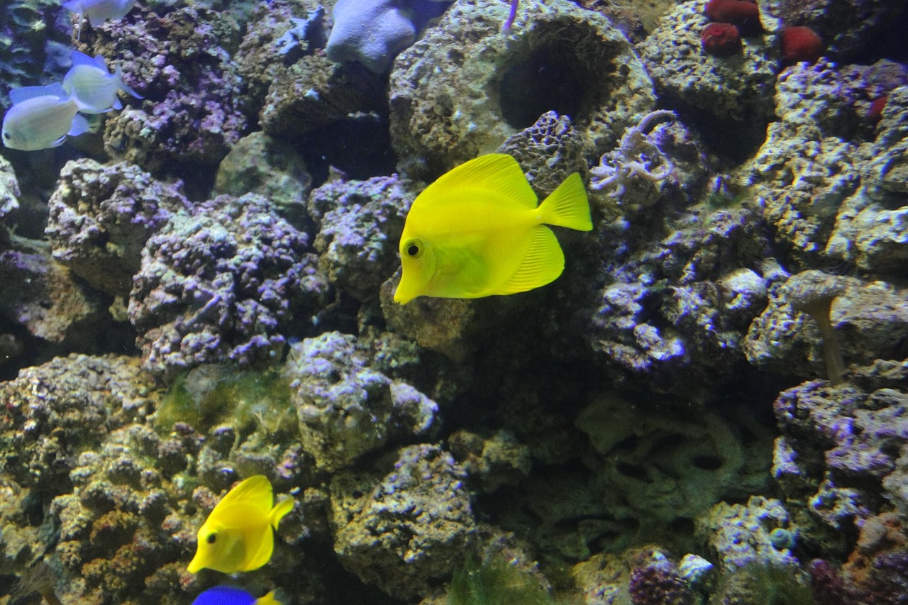 yellow surgeon zebrasoma flavescens exotic fish free photo