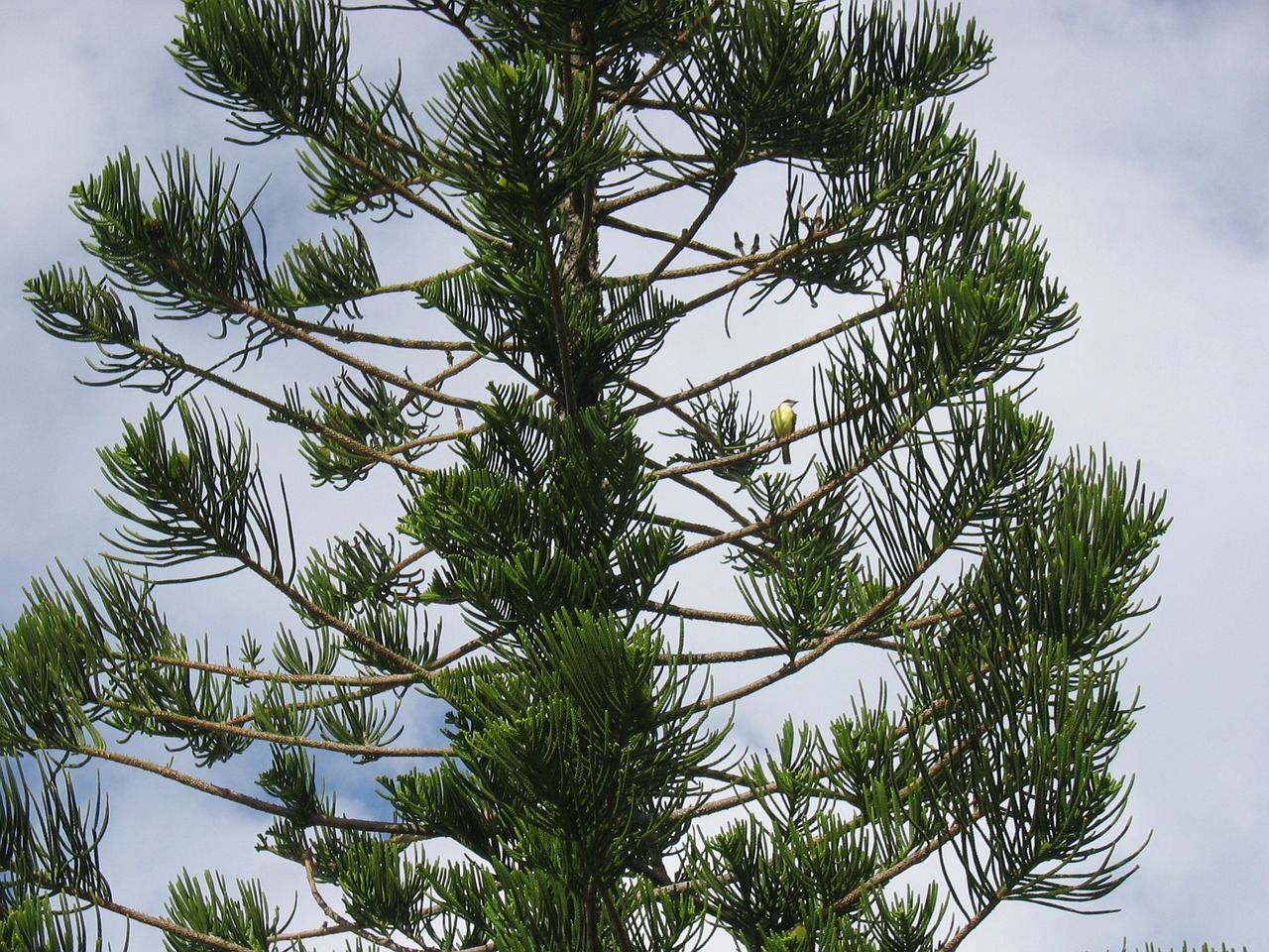 Image of scots pine tree branches needles and pine cones stock photo