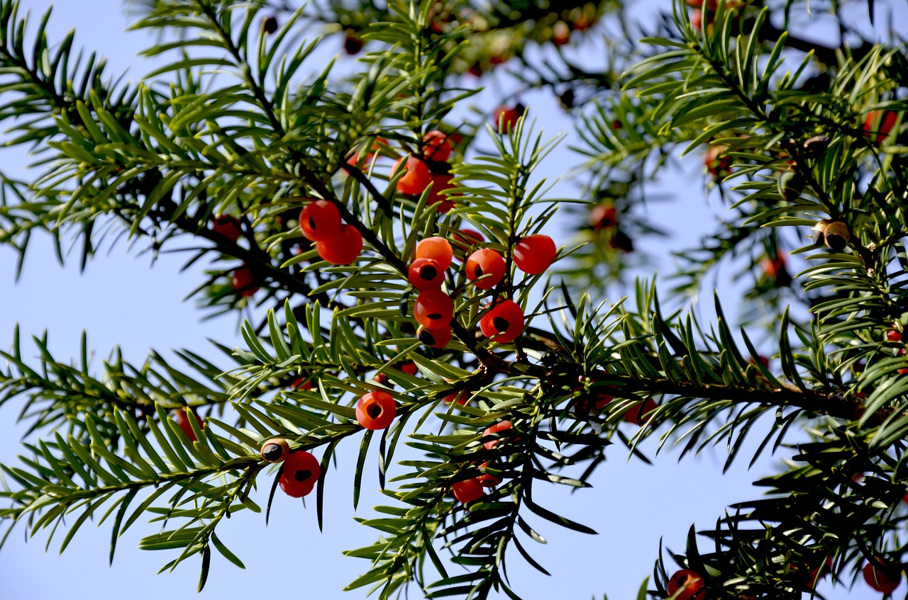 Yew Red Fruits Bush Periwinkle Berry Free Image From Needpix Com
