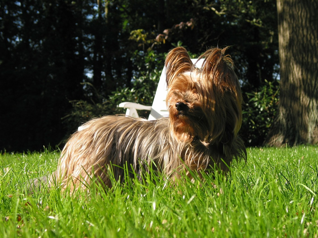 yorkshire terrier dog free photo