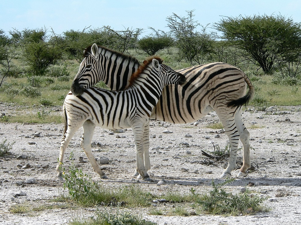 zebra mother with zebra kid africa free photo