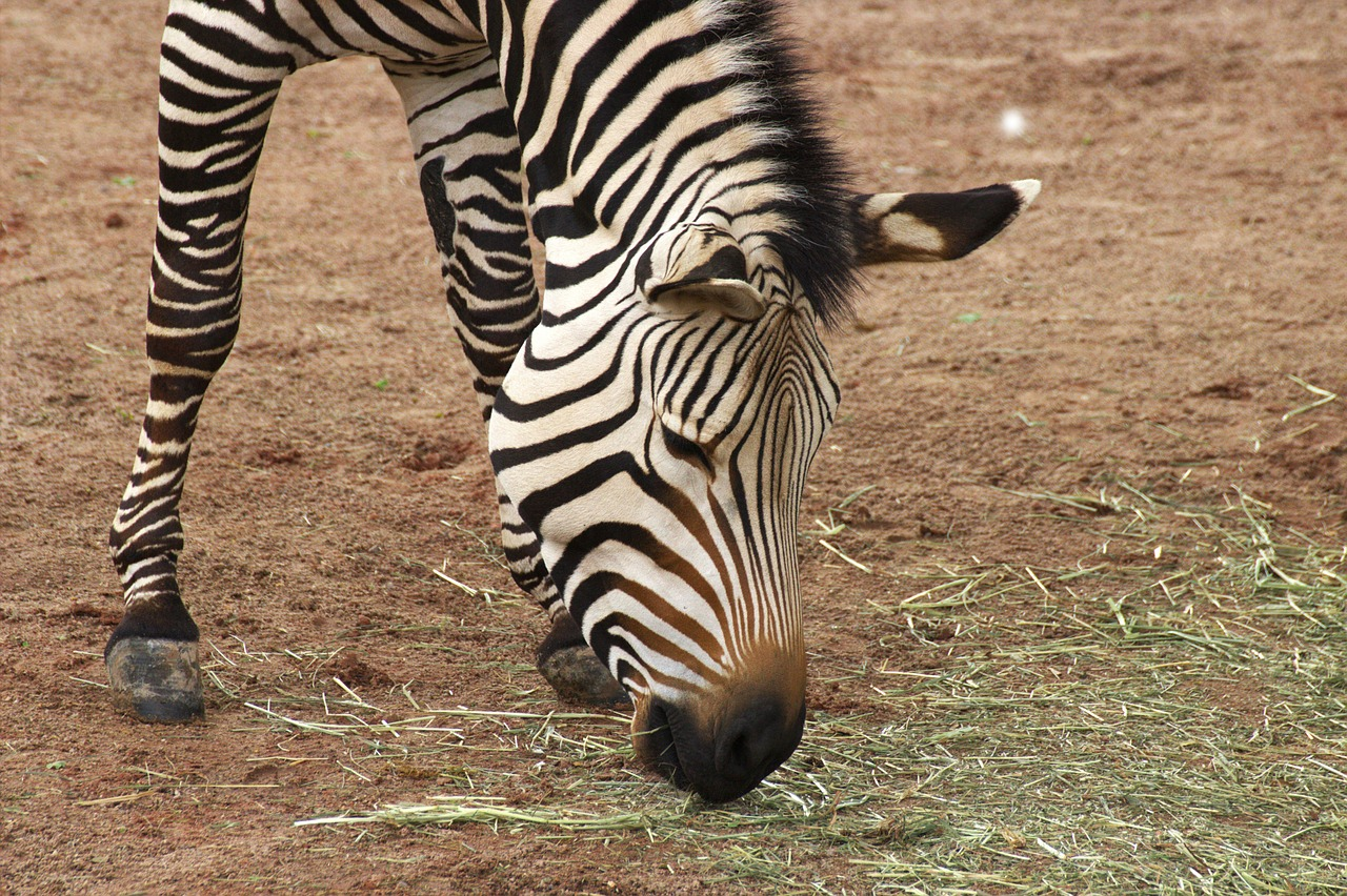 zebra zoo africa free photo