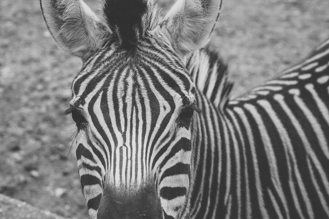zebra captivity black and white free photo