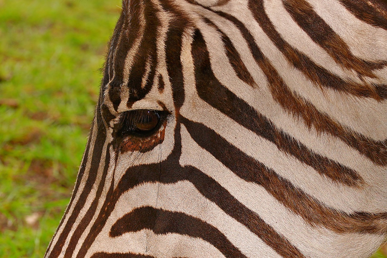 zebra striped brown free photo