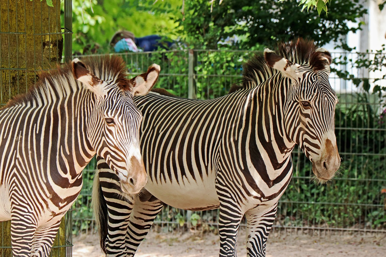 zebra,zoo,animal,africa,black and white,zebra crossing,striped,free pictures, free photos, free images, royalty free, free illustrations, public domain