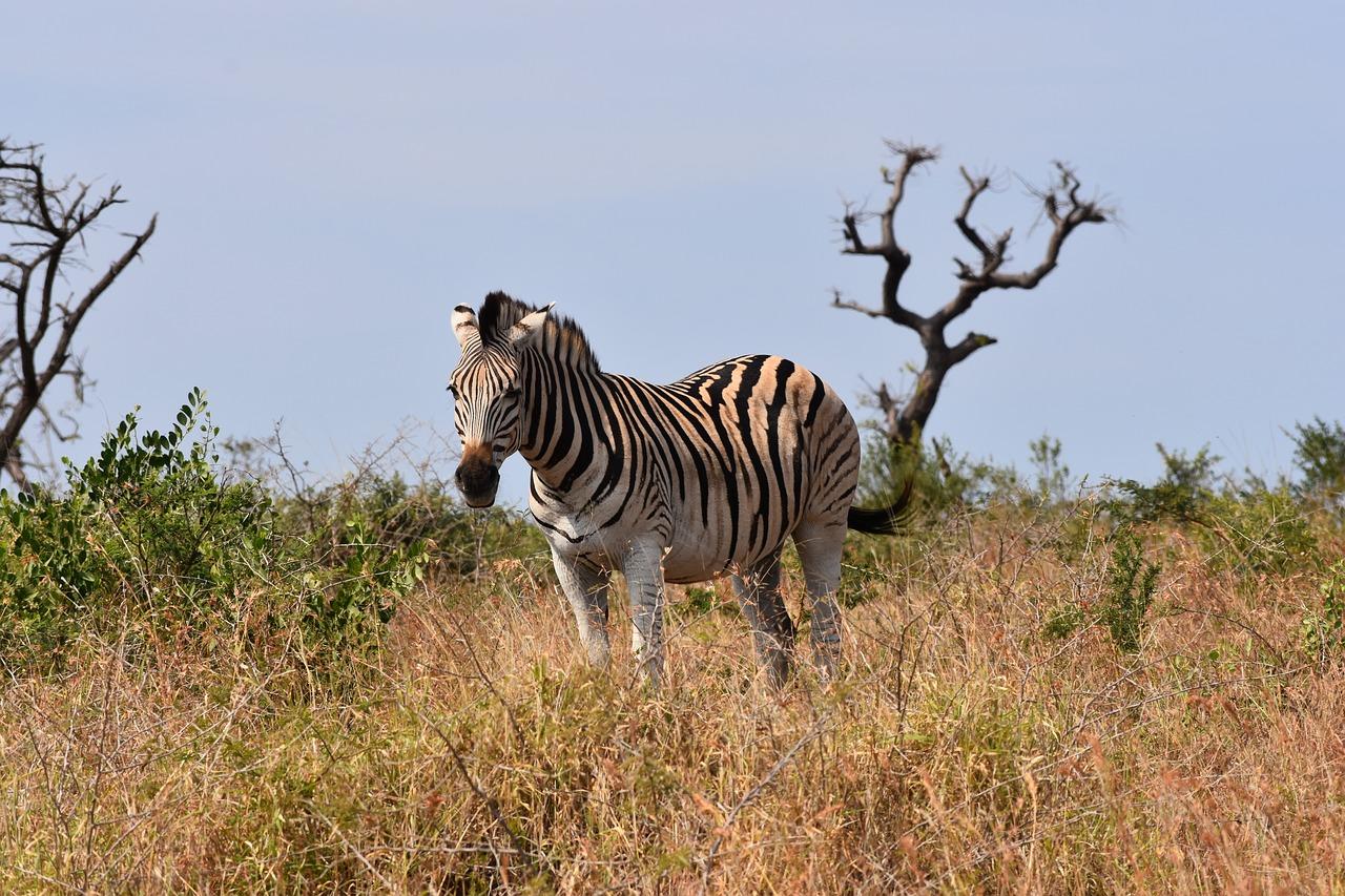 zebra wildlife south africa - HD1280×853