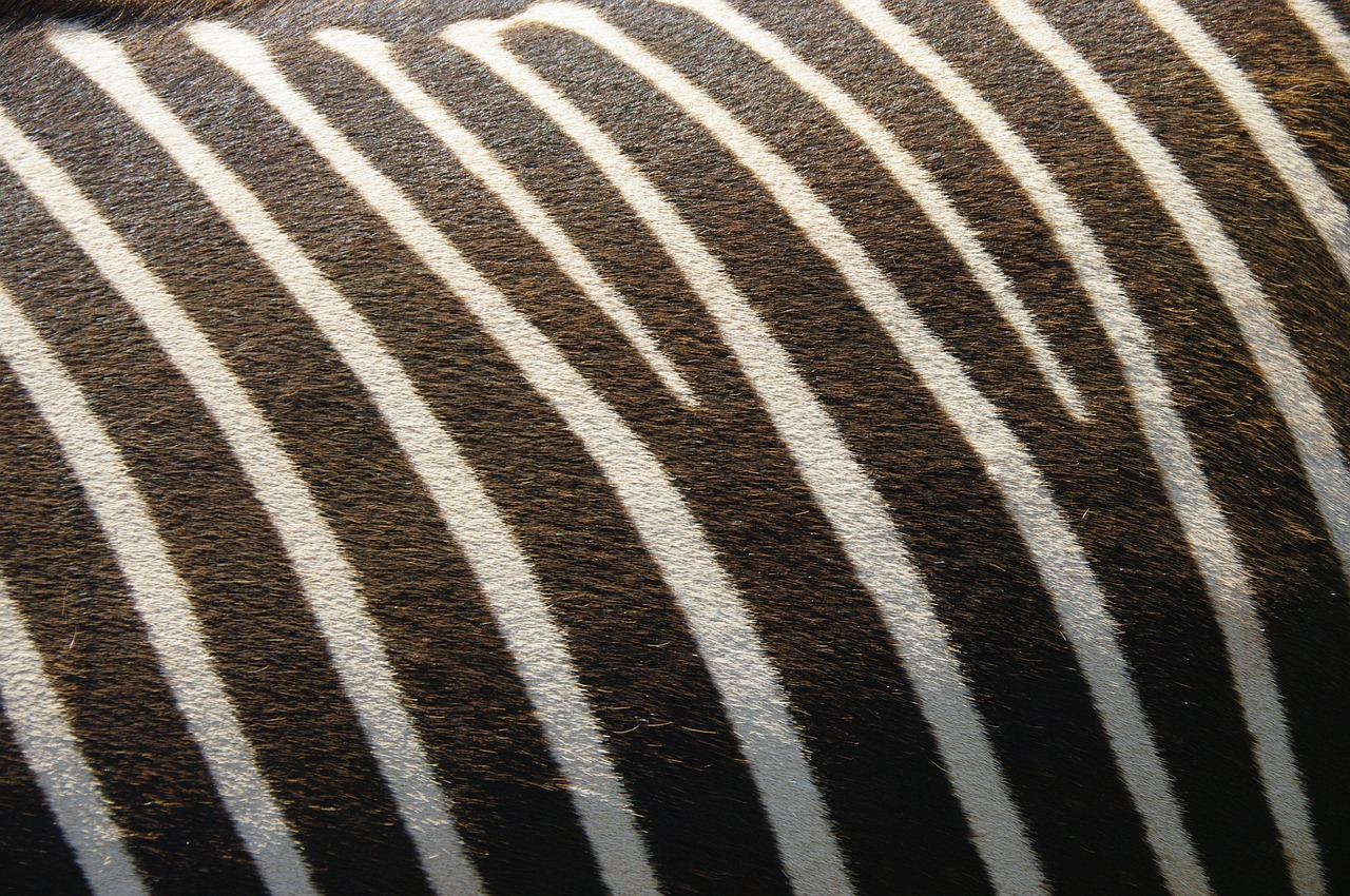 zebra texture nature free photo