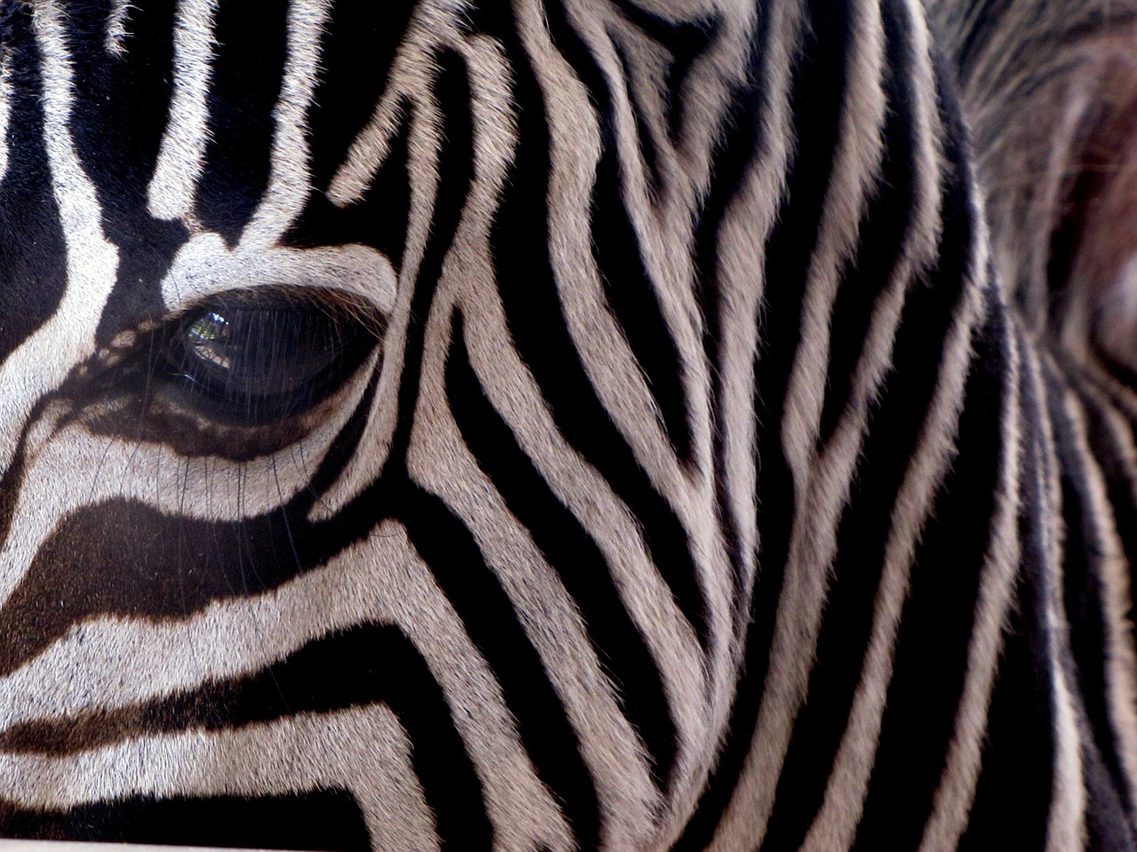 zebra,stripes,mammal,animal,african,africa,striped,exotic,head,face,eye,stripe,horse,free pictures, free photos, free images, royalty free, free illustrations, public domain