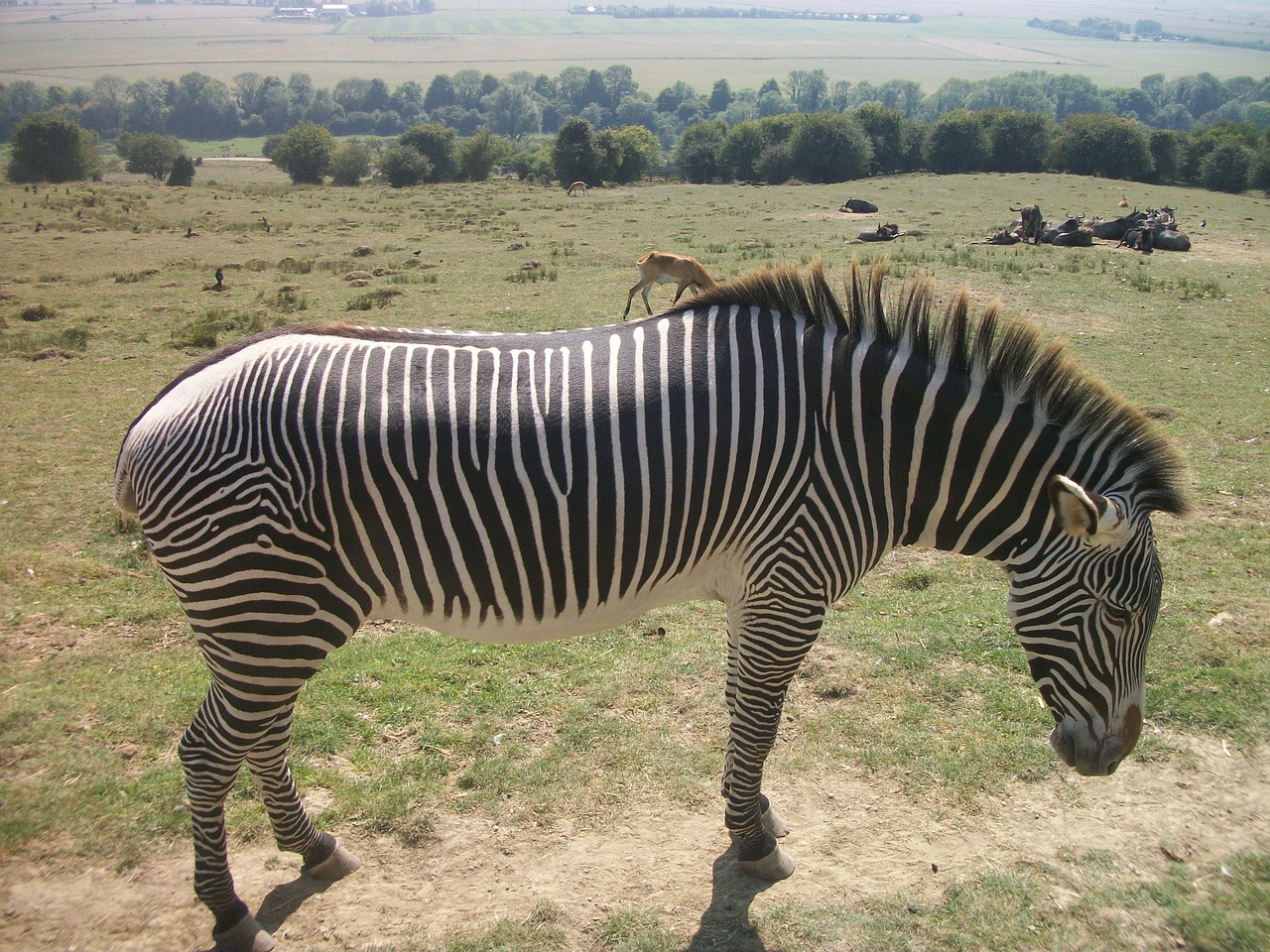zebra mammal animal free photo