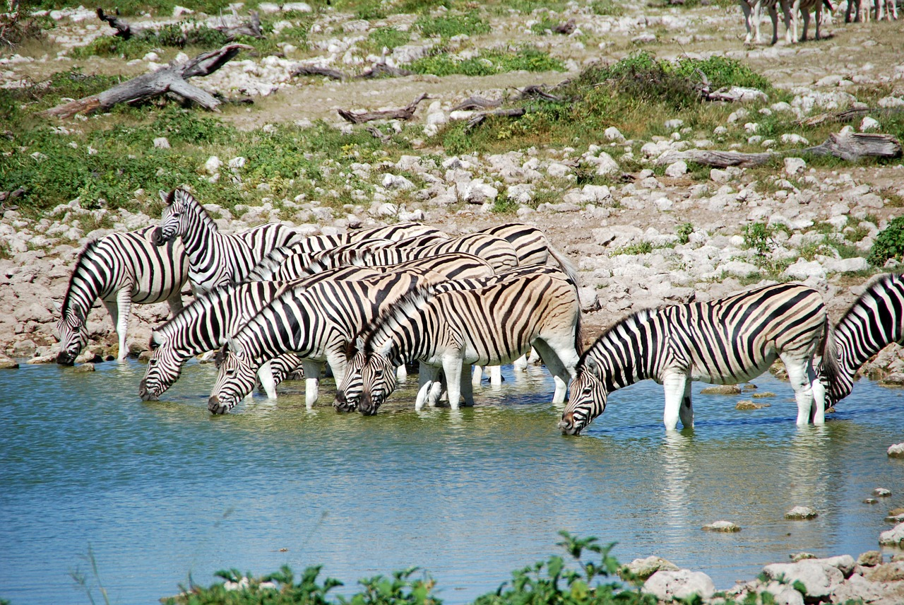 zebras potions africa free photo