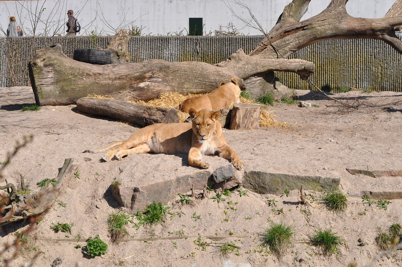 zoo lioness expensive free photo