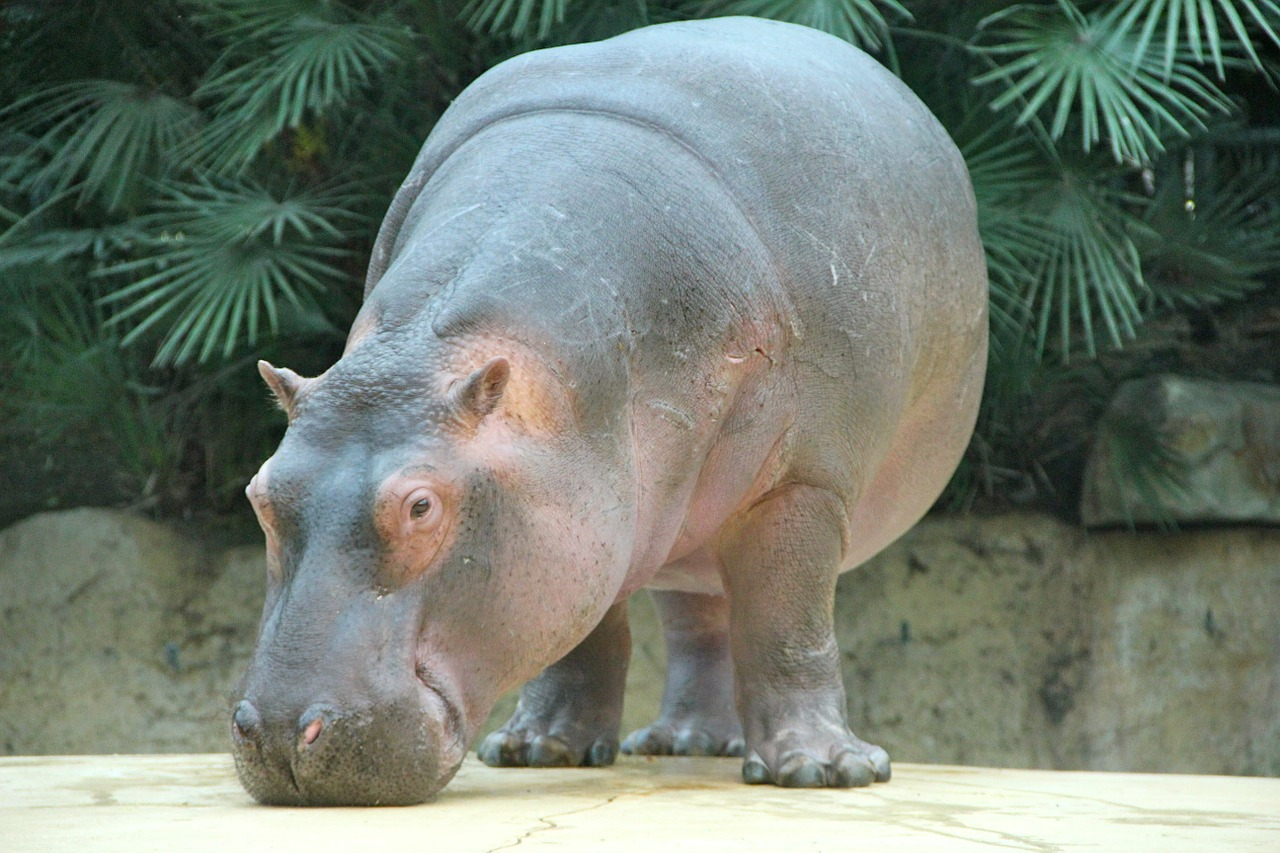 zoo animals hippo free photo