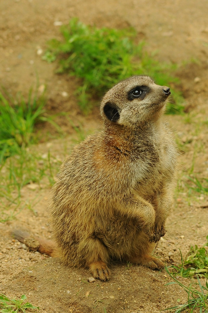 zoo animal meerkat free photo