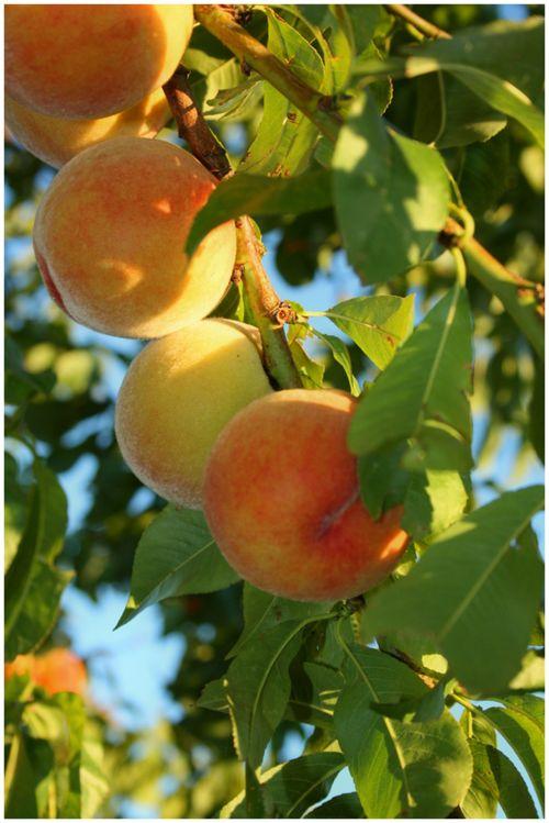 Branch Of Ripe Peaches