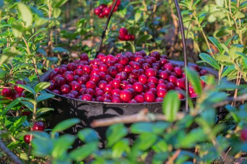 Bowler Cranberries
