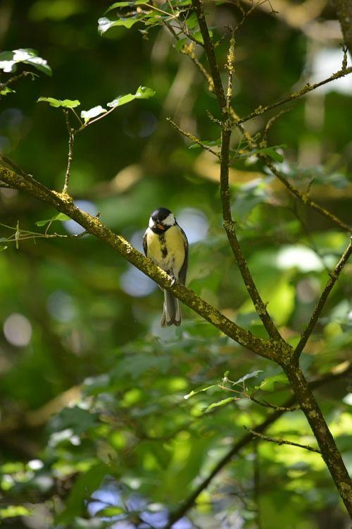 Bird Titmouse