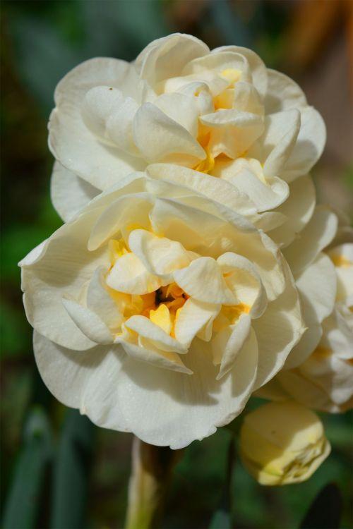 dvigubas & nbsp, narcizas, pavasaris, gėlės, balta, gamta, dvigubas dafodilis