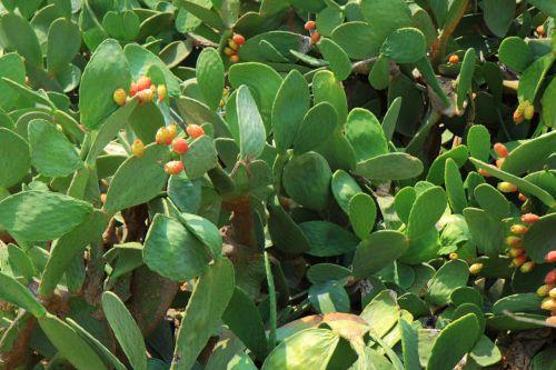 fonas, botanika, kaktusas, dykuma, žalias, gamta, augalas, aštrus, spiglys, erškėtis, kaktusas fonas